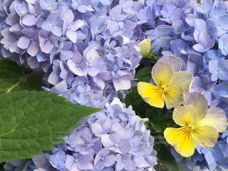 紫陽花とビオラの写真・画像素材[1164770]