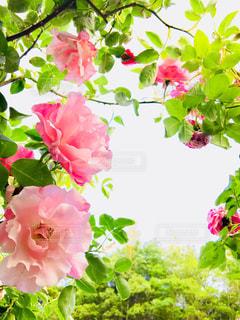ピンクのバラの写真・画像素材[1175996]