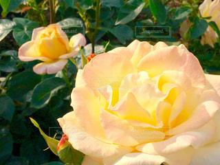 バラ園の黄色いバラの写真・画像素材[1176517]