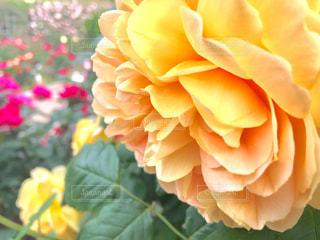 黄色の大輪の薔薇の写真・画像素材[1176543]