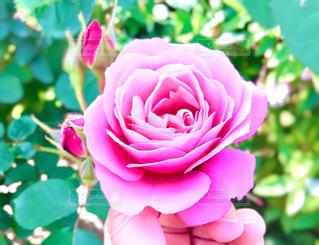鮮やかなバラの写真・画像素材[2116631]
