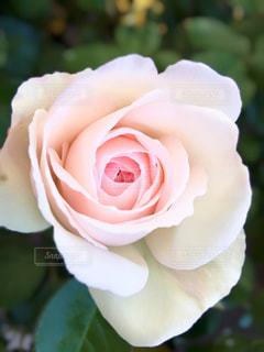 プリンセスローズの写真・画像素材[2116633]