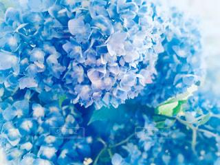 梅雨前んお紫陽花の写真・画像素材[2157394]