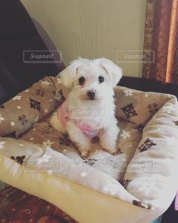 ベッドの上に座っている犬の写真・画像素材[1137984]