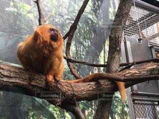 オレンジライオン(猿)の写真・画像素材[1139144]
