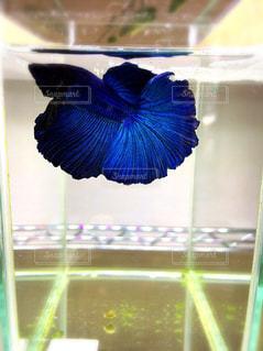 青いベタの写真・画像素材[1138354]