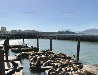 サンフランシスコのアシカ達の写真・画像素材[1163405]