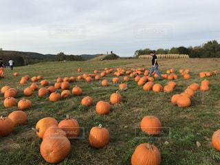 かぼちゃだらけの写真・画像素材[1187104]