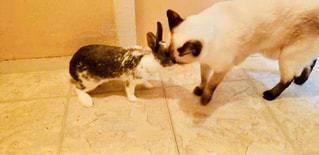 仲良しウサギと猫の写真・画像素材[1236369]
