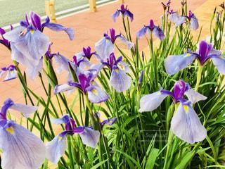 菖蒲の花の写真・画像素材[1243583]