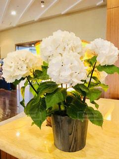 白い紫陽花の鉢植えの写真・画像素材[1243584]