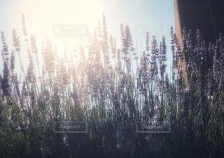 ラベンダー畑の写真・画像素材[1287779]