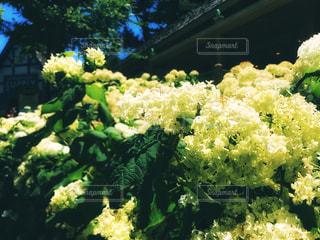 ハーシーパークの紫陽花の写真・画像素材[1309250]