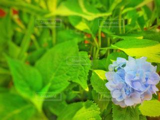 マンハッタンの紫陽花 2の写真・画像素材[1309252]