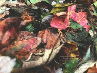 秋の落ち葉の写真・画像素材[1524455]