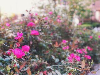 中庭のバラの写真・画像素材[1533686]