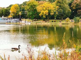 秋のセントラルパークの鴨の写真・画像素材[1584984]