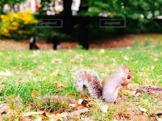 セントラルパークでドングリを食べるリスの写真・画像素材[1584985]