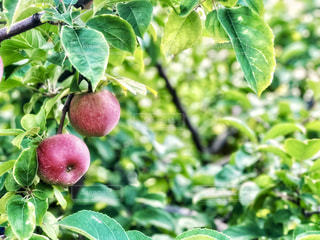 りんごの木と実の写真・画像素材[1605933]