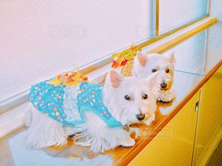着物を着た愛犬たちの写真・画像素材[1700099]