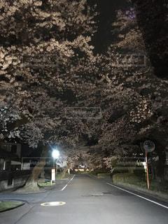 夜桜ロードの写真・画像素材[1139072]