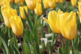 チューリップの花の写真・画像素材[1139103]