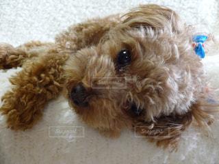 茶色と白犬の写真・画像素材[1139416]