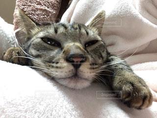 膝の上で横になっている猫のアップの写真・画像素材[1139622]