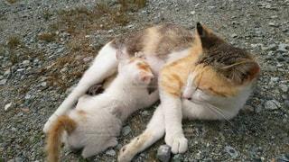 子育て中の猫の写真・画像素材[1140406]