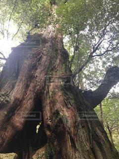 森の大きな木の写真・画像素材[1141439]