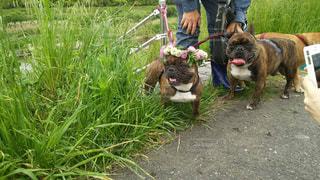 草むらをお散歩中の犬の写真・画像素材[1141827]