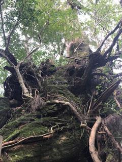 森の大きな木の写真・画像素材[1142646]