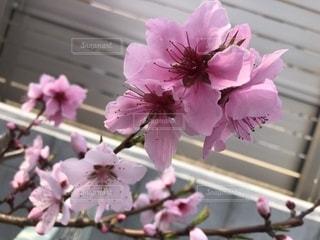 桜じゃないよ桃の花の写真・画像素材[1874854]