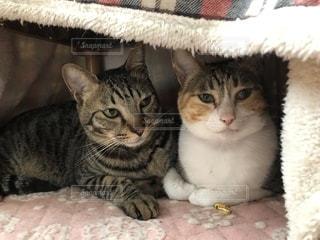 猫ようこたつの下の猫の写真・画像素材[1884719]