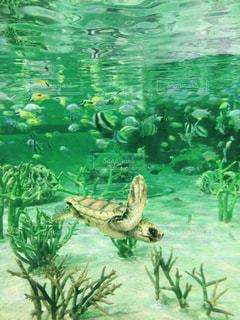 ウミガメの写真・画像素材[1139887]
