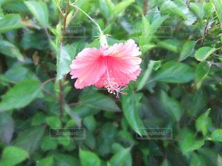ピンク色のハイビスカス - No.1156774