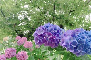 紫と青の紫陽花の写真・画像素材[2432891]