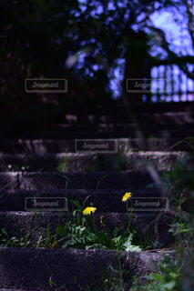門の前のたんぽぽの写真・画像素材[1141396]