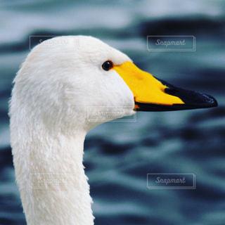 白鳥のアップの写真・画像素材[1141643]