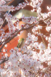 梅とメジロの写真・画像素材[1865035]