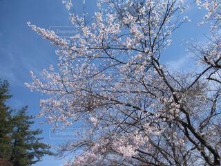 青空に映える桜の写真・画像素材[1145548]