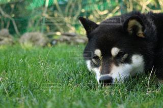 芝生の上で寝る芝犬。の写真・画像素材[2329790]
