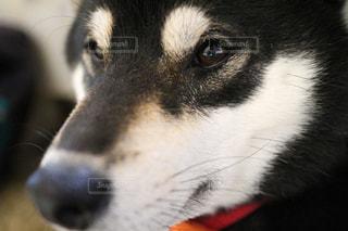 柴犬のアップの写真・画像素材[2924794]