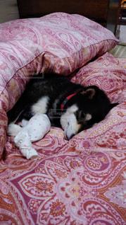 布団で寝る柴犬の写真・画像素材[2924817]