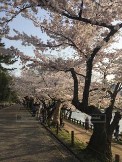桜並木の写真・画像素材[1141770]