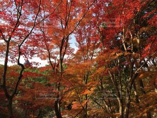 萌えるような紅葉の写真・画像素材[1141904]