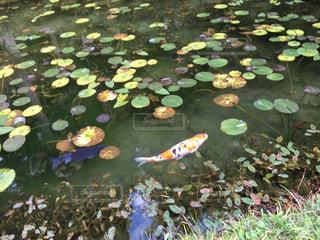 近くに池のアップの写真・画像素材[1141910]
