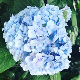青紫の紫陽花の写真・画像素材[1142868]