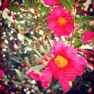 冬の赤い花の写真・画像素材[1174289]
