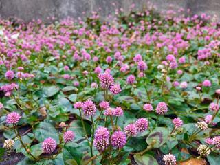 近くの道端のピンクの花の写真・画像素材[1629099]